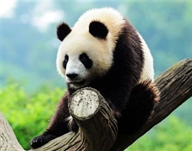 Panda Research Base Half Day Tour (Private)