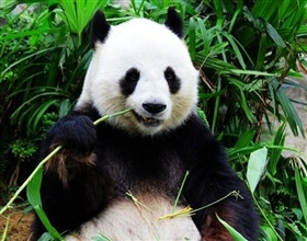 [1-Day Tour] Dujiangyan Panda Base Volunteer Program (Private, depart Chengdu)
