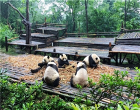 [2-Day Tour] Giant Panda Valley Visiting (Private, with 3-star hotel)