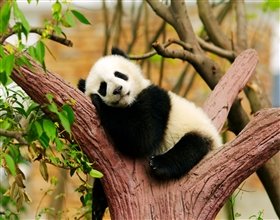 [1-Day Tour] Giant Panda & Leshan Buddha (Group)