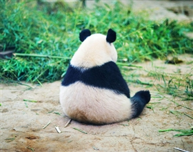 [Half-Day Tour] Chengdu Giant Panda Breeding Center (Group)